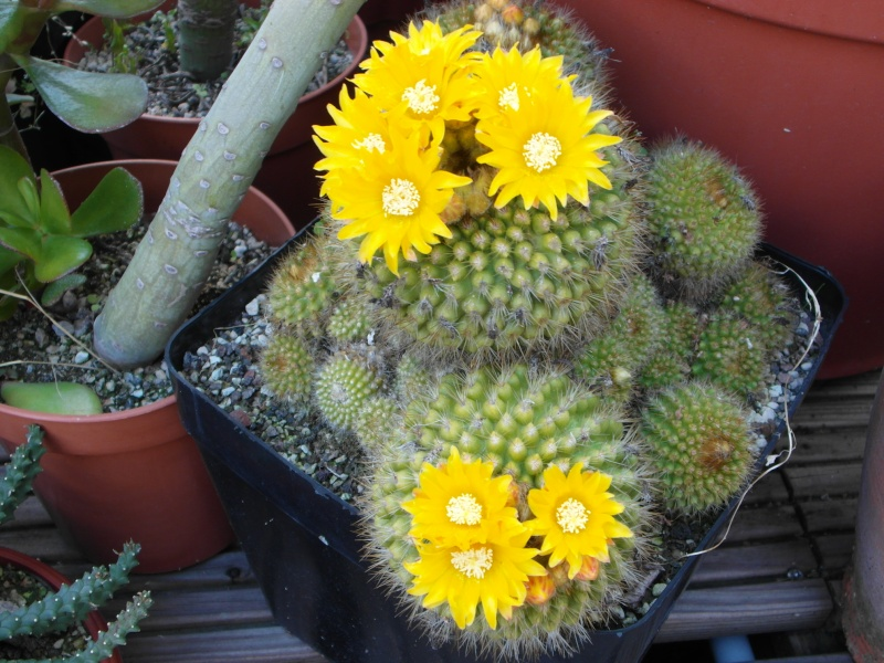 Cacti and Sukkulent in Köln, every day new flowers in the greenhouse Part 58 Bild_100