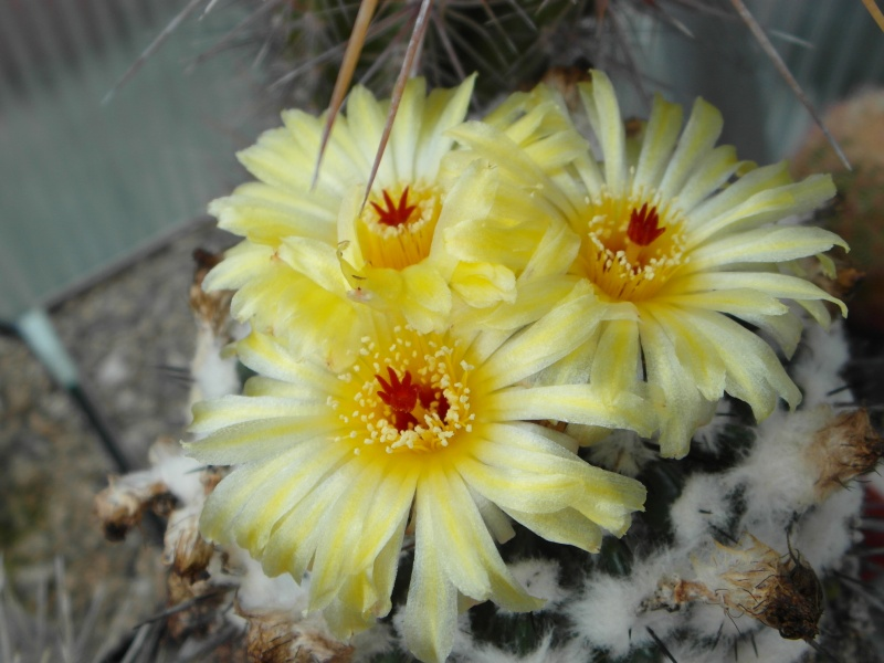 Cacti and Sukkulent in Köln, every day new flowers in the greenhouse Part 58 Bild_105
