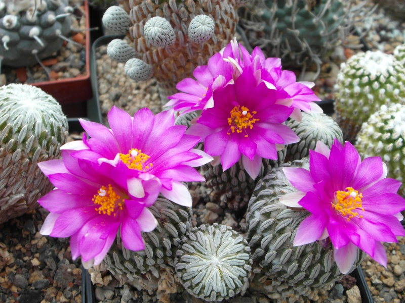 Cacti and Sukkulent in Köln, every day new flowers in the greenhouse Part 58 Bild_109