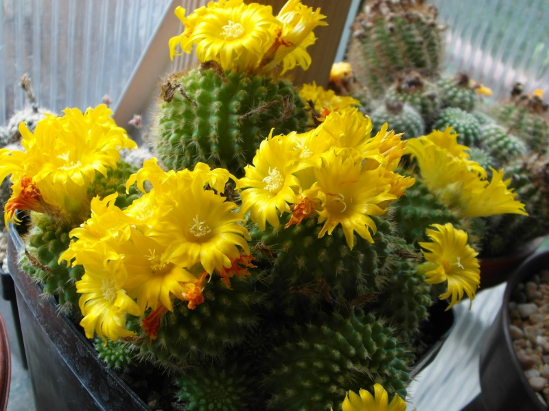 Cacti and Sukkulent in Köln, every day new flowers in the greenhouse Part 58 Bild_111