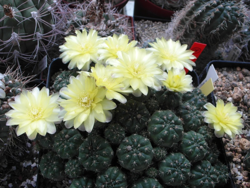Cacti and Sukkulent in Köln, every day new flowers in the greenhouse Part 58 Bild_116