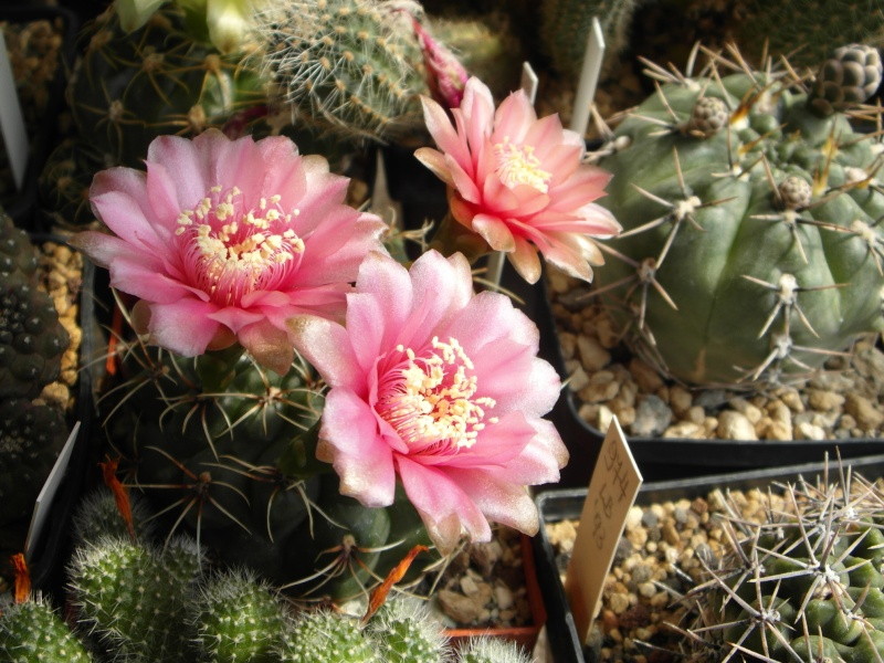 Cacti and Sukkulent in Köln, every day new flowers in the greenhouse Part 58 Bild_121
