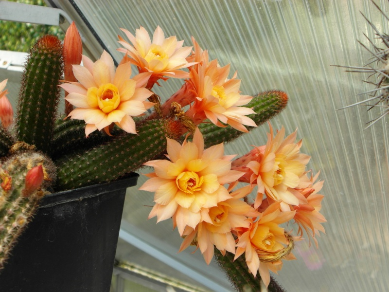 Cacti and Sukkulent in Köln, every day new flowers in the greenhouse Part 58 Bild_150