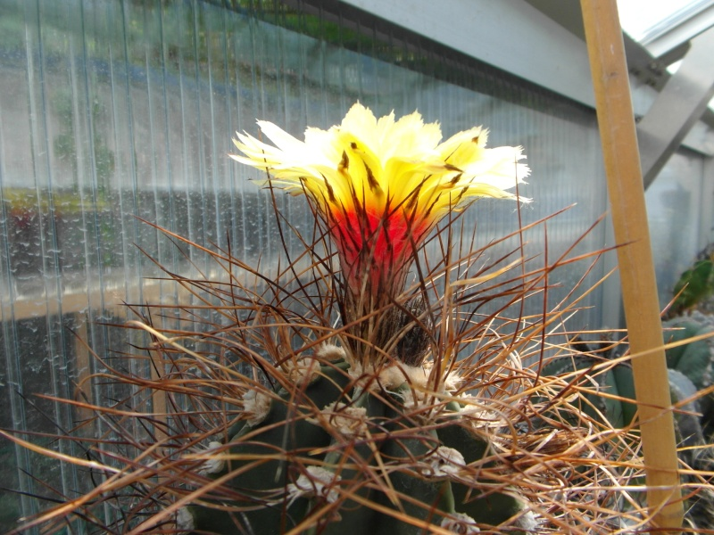 Cacti and Sukkulent in Köln, every day new flowers in the greenhouse Part 59 Bild_171