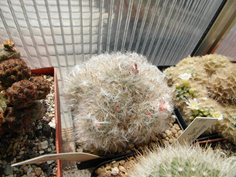 Cacti and Sukkulent in Köln, every day new flowers in the greenhouse Part 59 Bild_183