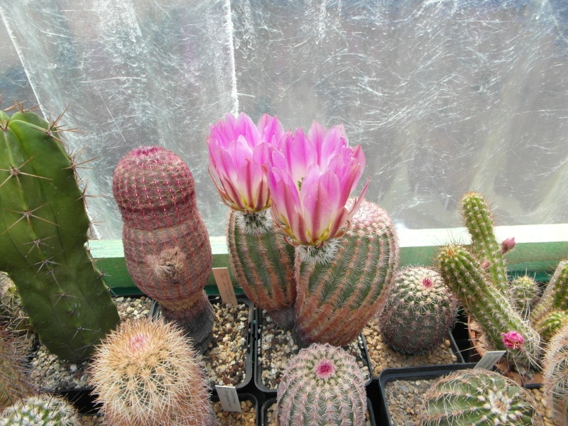 Cacti and Sukkulent in Köln, every day new flowers in the greenhouse Part 59 Bild_200