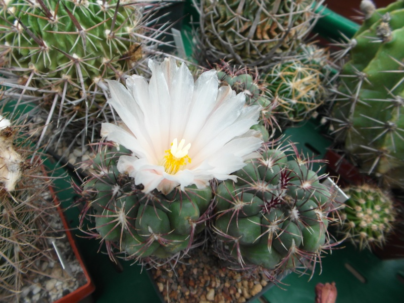 Cacti and Sukkulent in Köln, every day new flowers in the greenhouse Part 59 Bild_207