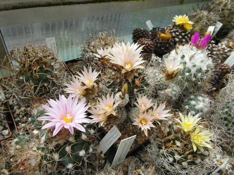Cacti and Sukkulent in Köln, every day new flowers in the greenhouse Part 59 Bild_208
