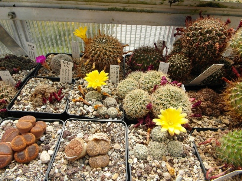 Cacti and Sukkulent in Köln, every day new flowers in the greenhouse Part 59 Bild_224