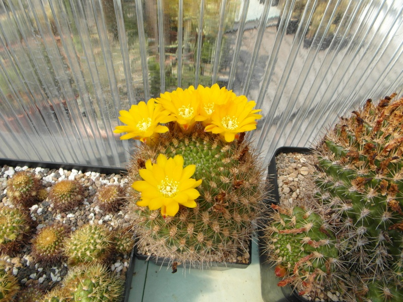 Cacti and Sukkulent in Köln, every day new flowers in the greenhouse Part 59 Bild_227