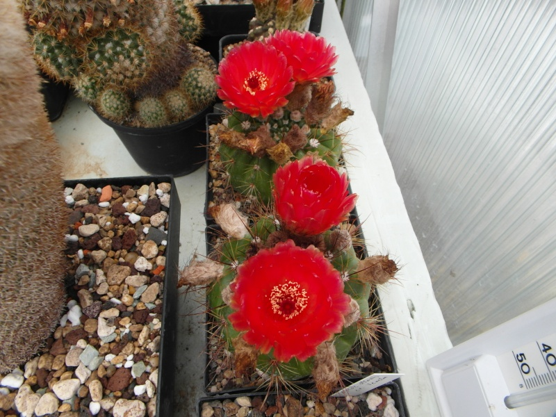 Cacti and Sukkulent in Köln, every day new flowers in the greenhouse Part 59 Bild_237