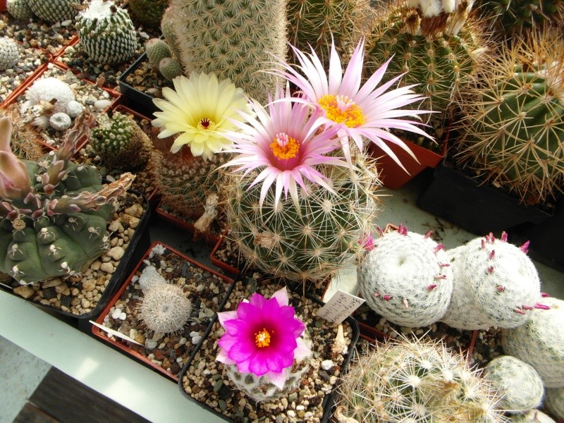 Cacti and Sukkulent in Köln, every day new flowers in the greenhouse Part 59 Bild_240