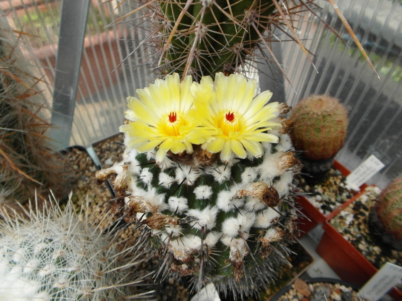Cacti and Sukkulent in Köln, every day new flowers in the greenhouse Part 59 Bild_244