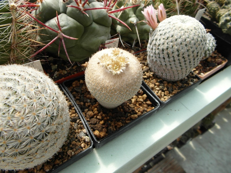 Cacti and Sukkulent in Köln, every day new flowers in the greenhouse Part 59 Bild_247