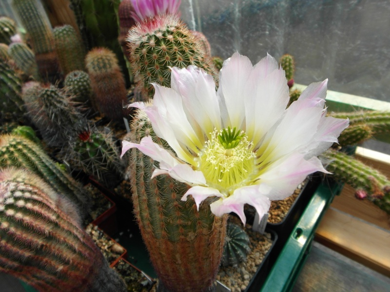 Cacti and Sukkulent in Köln, every day new flowers in the greenhouse Part 59 Bild_249