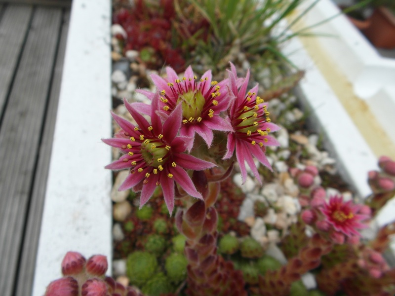 Cacti and Sukkulent in Köln, every day new flowers in the greenhouse Part 59 Bild_254