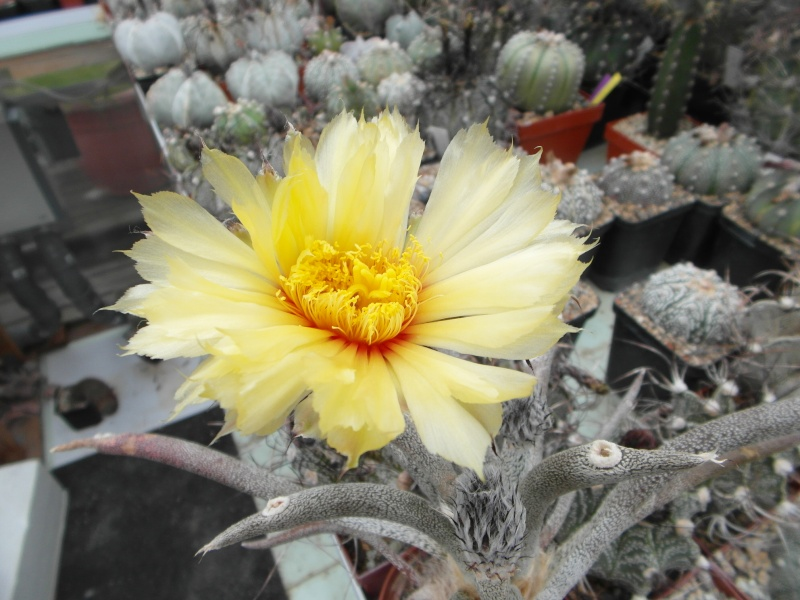Cacti and Sukkulent in Köln, every day new flowers in the greenhouse Part 59 Bild_256