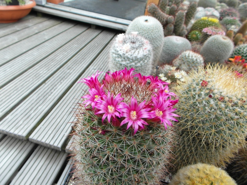 Cacti and Sukkulent in Köln, every day new flowers in the greenhouse Part 60 Bild_287