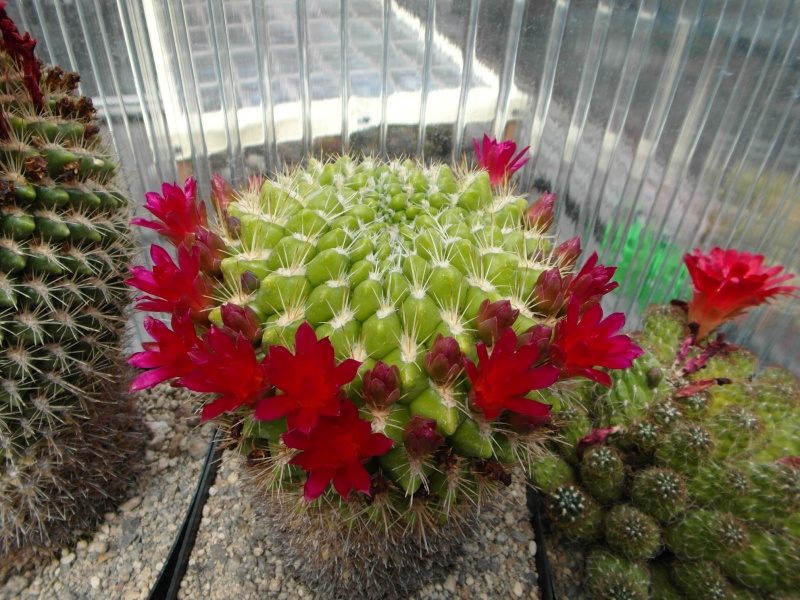 Cacti and Sukkulent in Köln, every day new flowers in the greenhouse Part 60 Bild_302