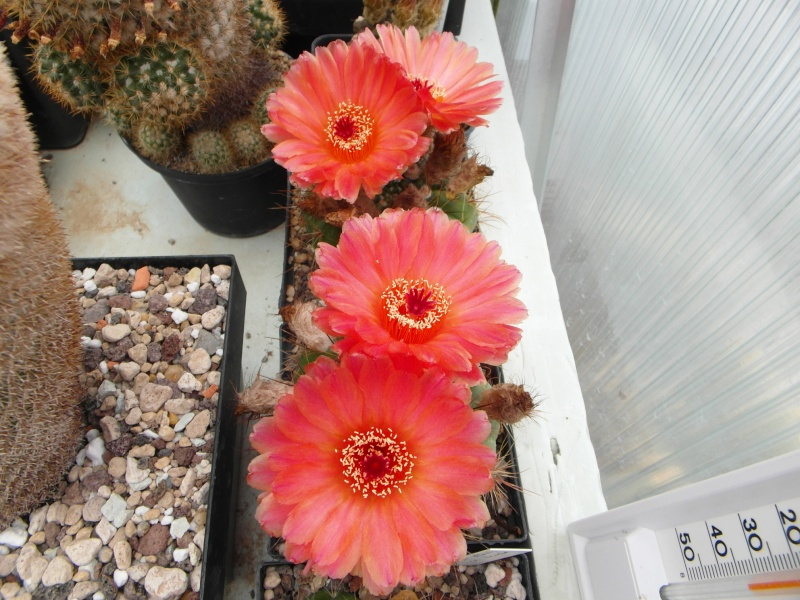 Cacti and Sukkulent in Köln, every day new flowers in the greenhouse Part 60 Bild_307