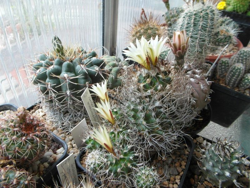 Cacti and Sukkulent in Köln, every day new flowers in the greenhouse Part 60 Bild_323