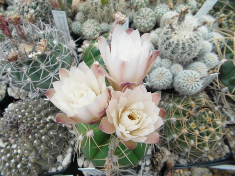 Cacti and Sukkulent in Köln, every day new flowers in the greenhouse Part 60 Bild_327