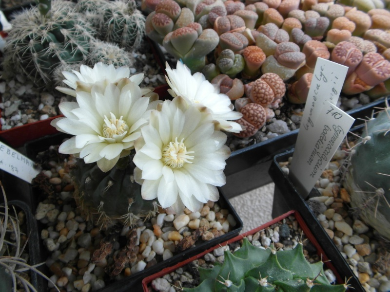 Cacti and Sukkulent in Köln, every day new flowers in the greenhouse Part 60 Bild_332