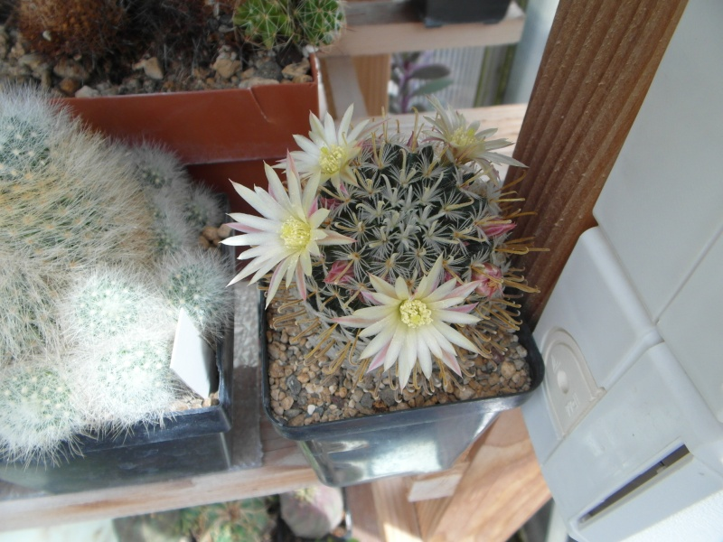Cacti and Sukkulent in Köln, every day new flowers in the greenhouse Part 60 Bild_346