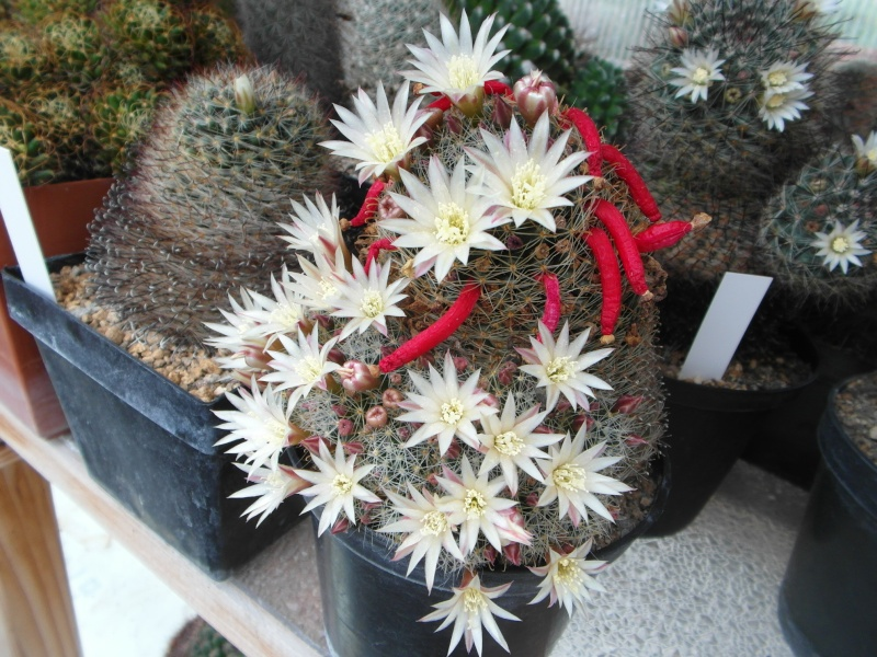 Cacti and Sukkulent in Köln, every day new flowers in the greenhouse Part 60 Bild_351