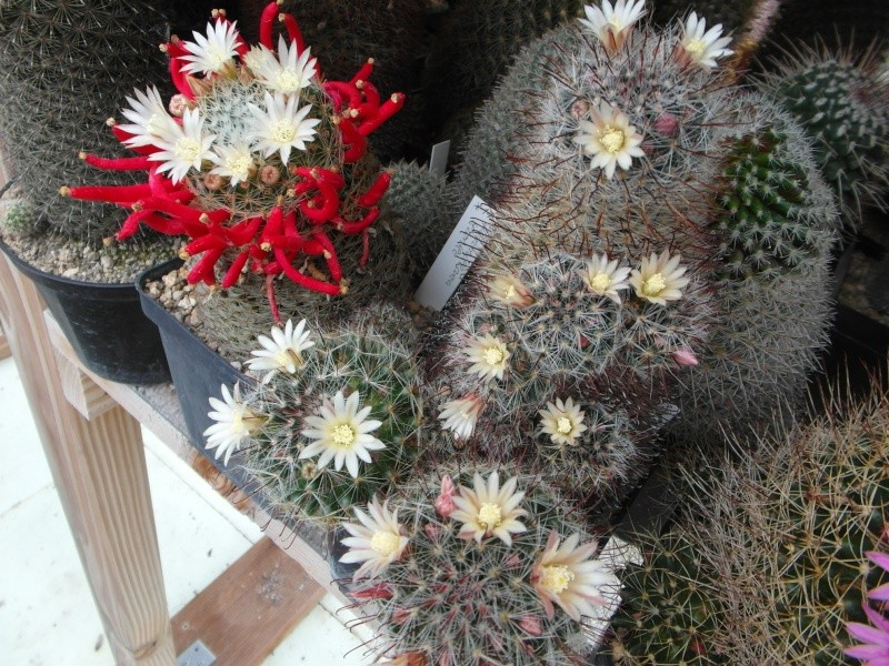 Cacti and Sukkulent in Köln, every day new flowers in the greenhouse Part 60 Bild_358