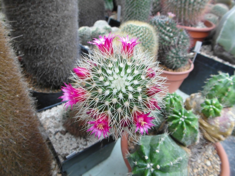 Cacti and Sukkulent in Köln, every day new flowers in the greenhouse Part 60 Bild_365