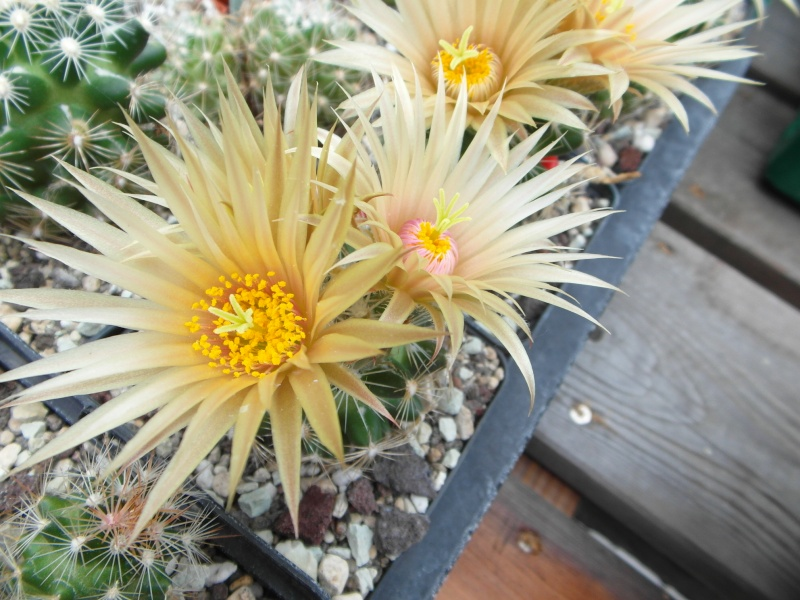 Cacti and Sukkulent in Köln, every day new flowers in the greenhouse Part 60 Bild_375