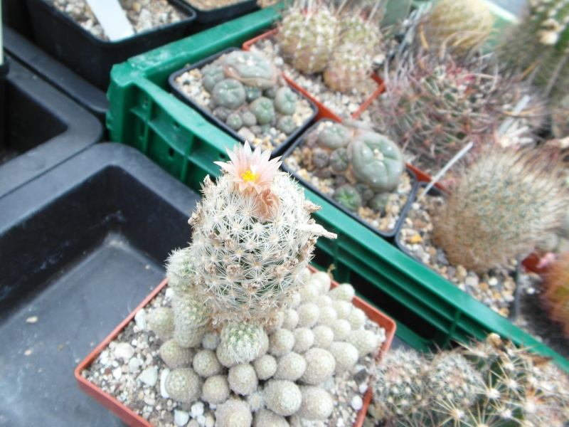 Cacti and Sukkulent in Köln, every day new flowers in the greenhouse Part 60 Bild_380