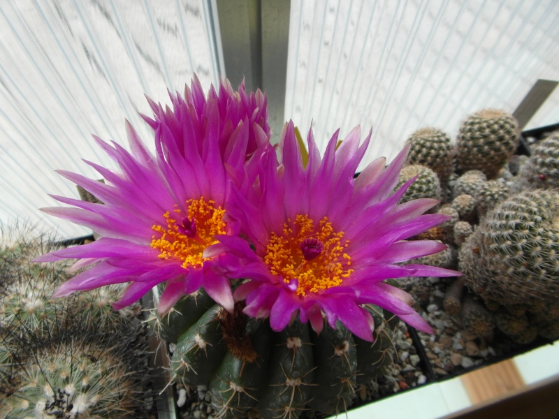 Cacti and Sukkulent in Köln, every day new flowers in the greenhouse Part 61 Bild_385
