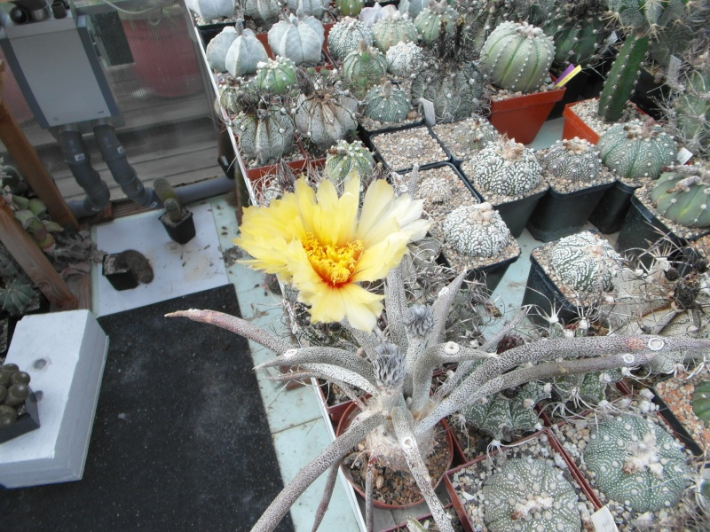 Cacti and Sukkulent in Köln, every day new flowers in the greenhouse Part 61 Bild_386