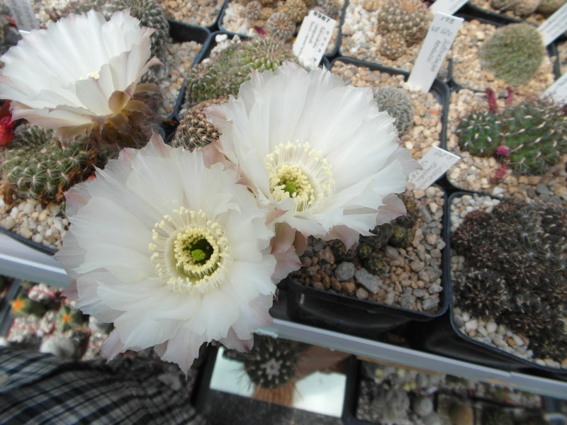 Cacti and Sukkulent in Köln, every day new flowers in the greenhouse Part 61 Bild_420