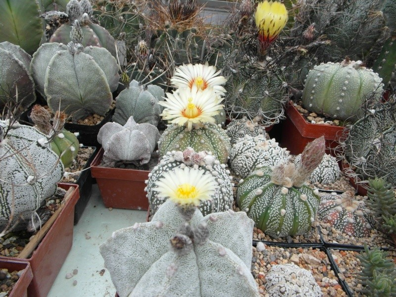 Cacti and Sukkulent in Köln, every day new flowers in the greenhouse Part 61 Bild_441