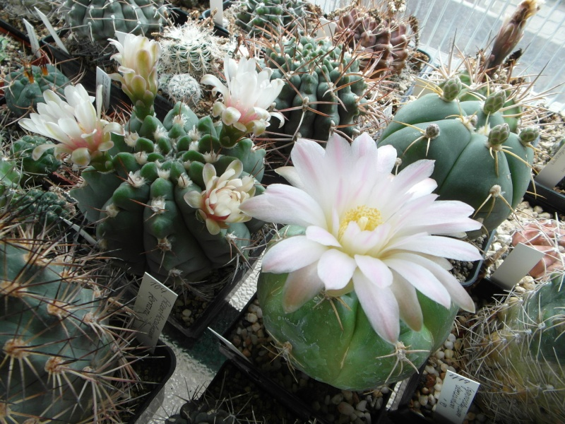 Cacti and Sukkulent in Köln, every day new flowers in the greenhouse Part 61 Bild_456