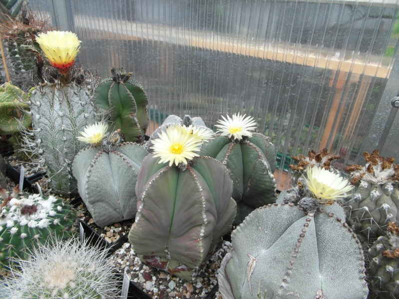 Cacti and Sukkulent in Köln, every day new flowers in the greenhouse Part 61 Bild_466