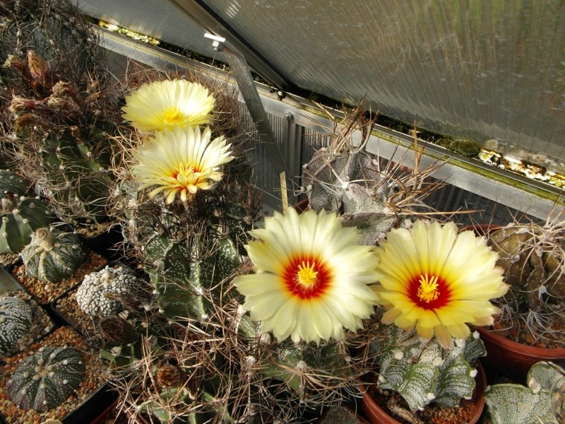 Cacti and Sukkulent in Köln, every day new flowers in the greenhouse Part 61 Bild_469