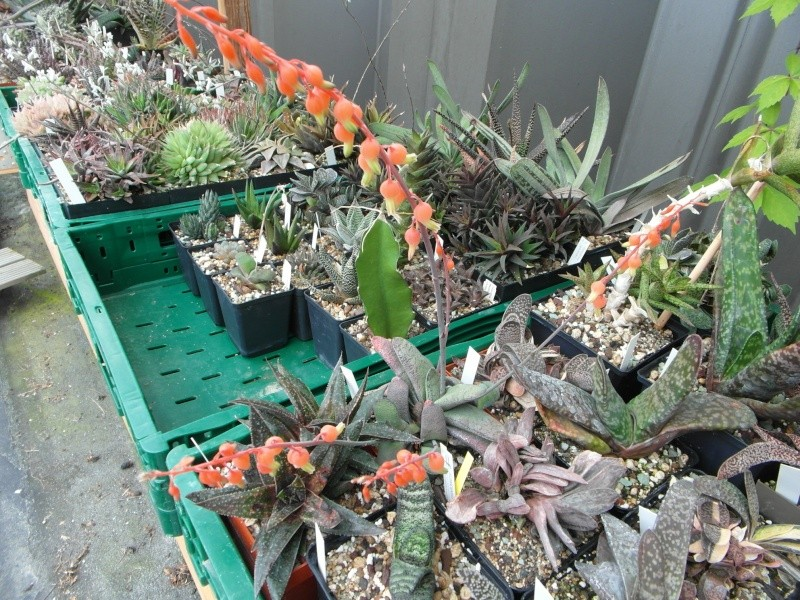 Cacti and Sukkulent in Köln, every day new flowers in the greenhouse Part 61 Bild_476