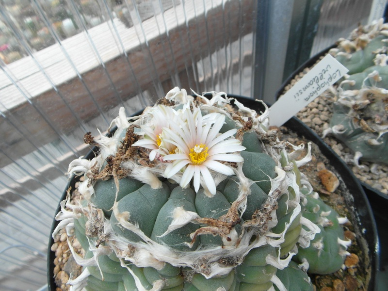 Cacti and Sukkulent in Köln, every day new flowers in the greenhouse Part 61 Bild_478