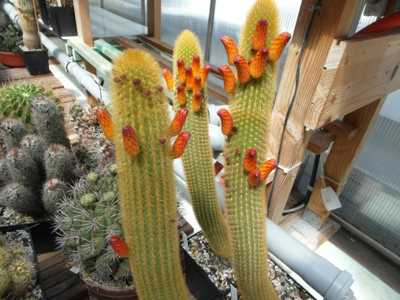Cacti and Sukkulent in Köln, every day new flowers in the greenhouse Part 62 Bild_492
