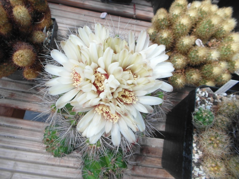 Cacti and Sukkulent in Köln, every day new flowers in the greenhouse Part 62 Bild_493