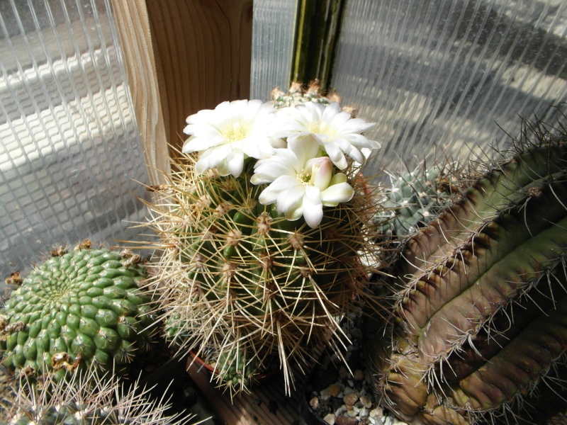 Cacti and Sukkulent in Köln, every day new flowers in the greenhouse Part 62 Bild_500