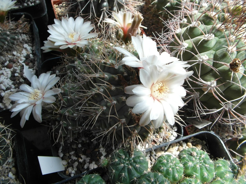 Cacti and Sukkulent in Köln, every day new flowers in the greenhouse Part 62 Bild_502