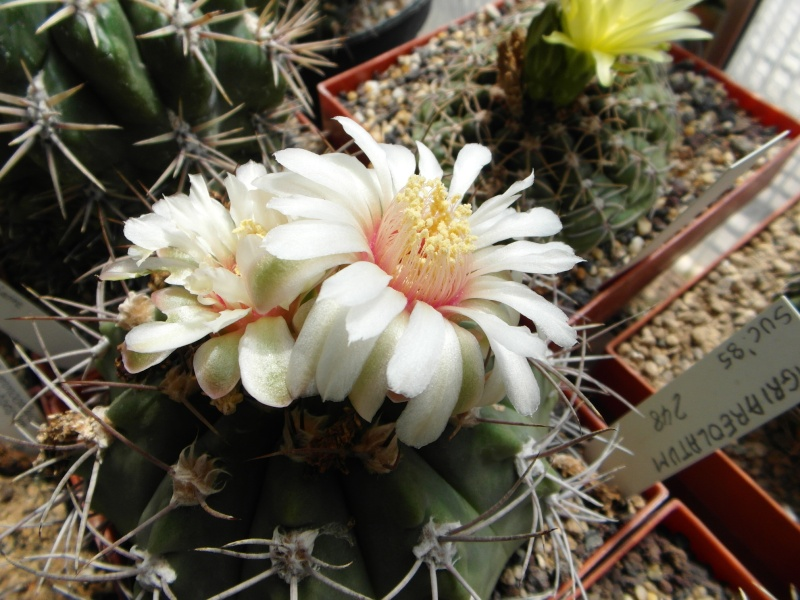Cacti and Sukkulent in Köln, every day new flowers in the greenhouse Part 62 Bild_504