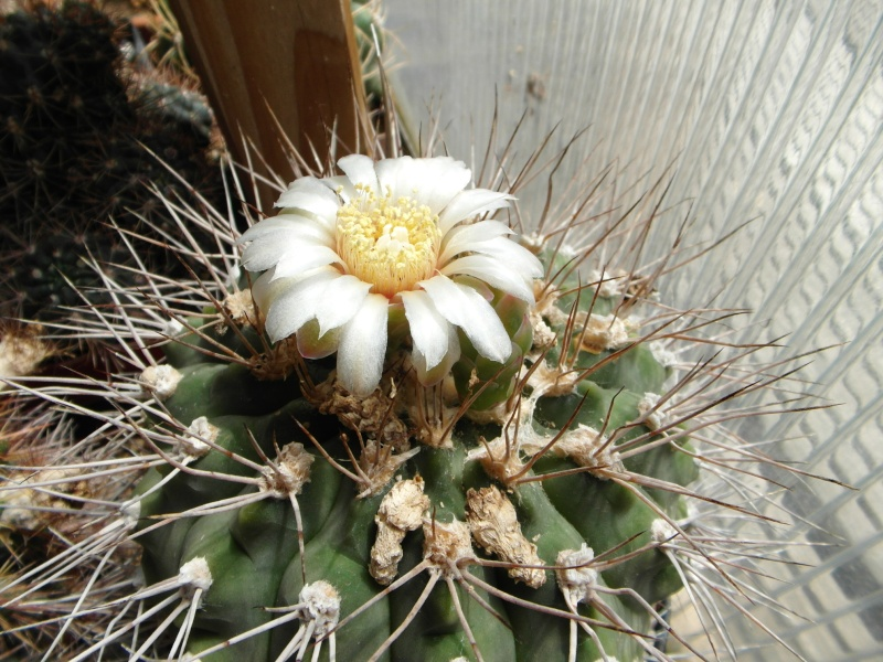 Cacti and Sukkulent in Köln, every day new flowers in the greenhouse Part 62 Bild_505