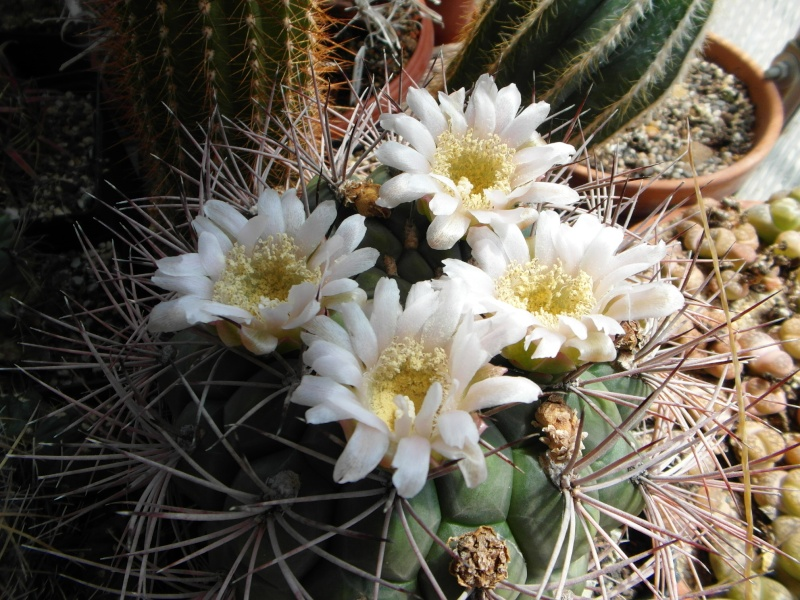 Cacti and Sukkulent in Köln, every day new flowers in the greenhouse Part 62 Bild_507