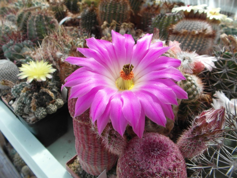 Cacti and Sukkulent in Köln, every day new flowers in the greenhouse Part 62 Bild_508